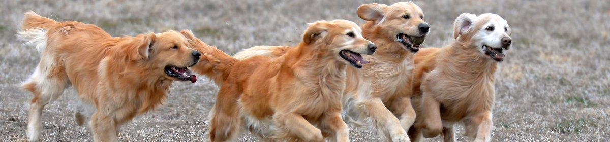 Jema Golden Retrievers