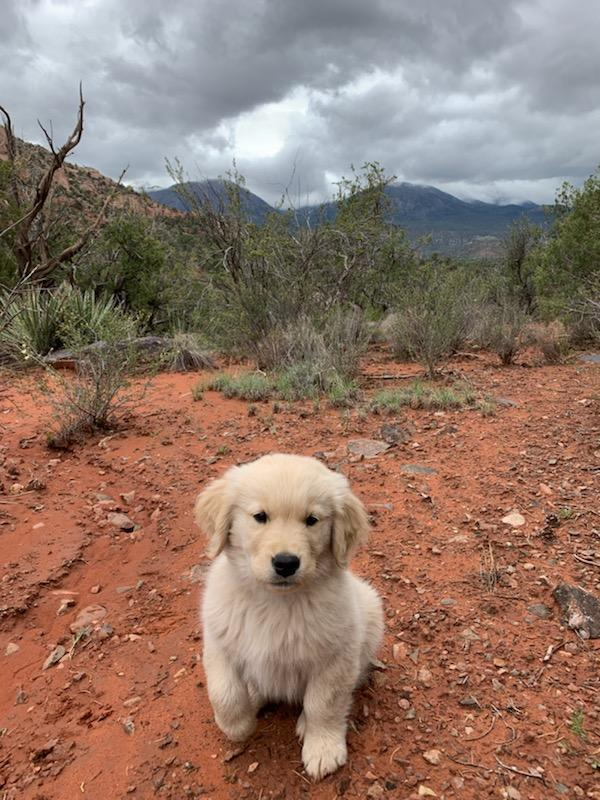 Growing Up! – Jema Golden Retrievers